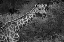Giraffe in schwarz/weiss von travelfoto