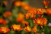 Ringelblumen 2 von Bianca Schumann