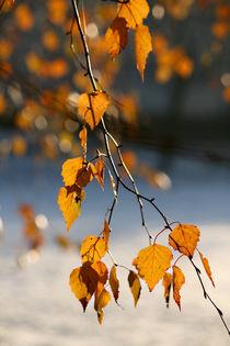 Goldene Birke by Heidrun Lutz