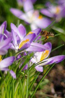Krokusse in der Frühlingssonne 2 von Bianca Schumann