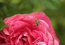 Rose mit kleinem grünen Gast, Rose with a little green visitor by Johanna Leithäuser