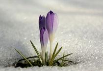 Zeischen Winter und Frühling von Johanna Leithäuser