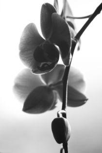 Orchid / Phalaenopsis von Heidrun Lutz