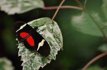 Schmetterling von Bianca Schumann