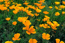 Kalifornischer Mohn-Eschscholzia californica-california poppy von monarch