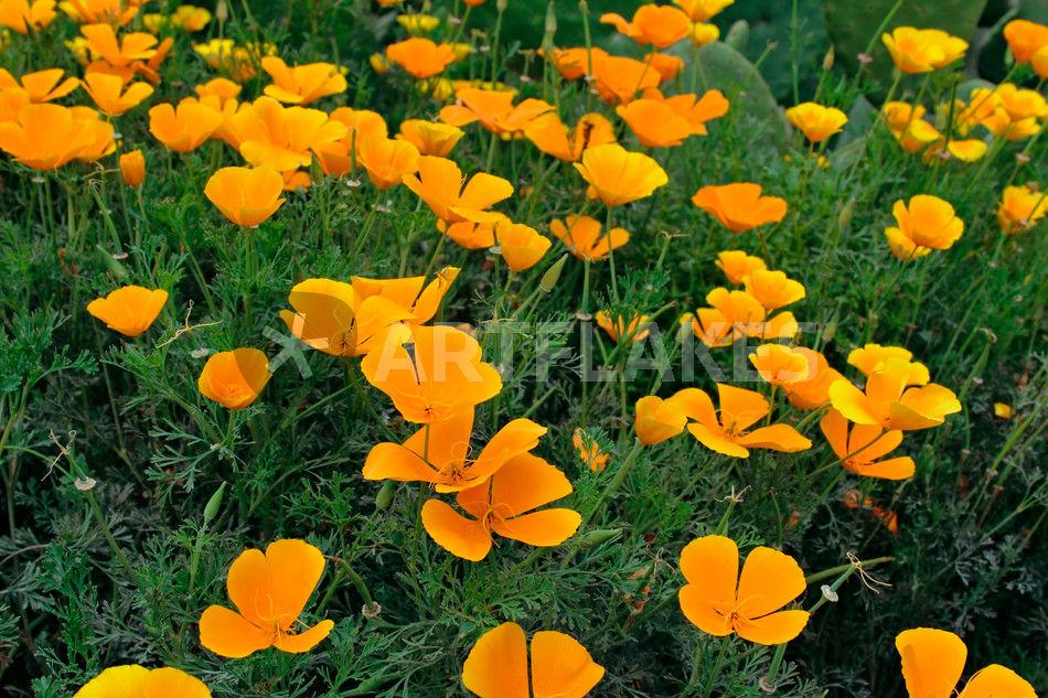kalifornischer mohn eschscholzia californica california poppy leinwanddruck von monarch. Black Bedroom Furniture Sets. Home Design Ideas