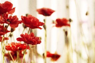 Redpoppieswide
