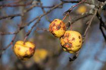 Alte Äpfel by Michael Ebardt