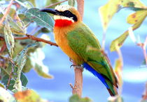 WHITE-FRONTED BEE-EATERS  - Afrikanische Bienenfresser am Sambesi by Eddie Scott