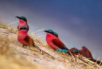 Kolonie der Roten Bienenfresser am Sambesi - Namibia by Eddie Scott