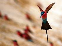 Flugstudie Roter Bienenfresser - Flying Carmine Bee Eater Namibia by Eddie Scott
