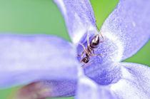Ant in a violet flower by Marco Leonardo Pieropan