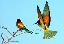 Bee-Eater Birds flying - Europäische Bienenfresser von Eddie Scott