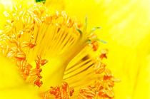 Yellow pistil by Marco Leonardo Pieropan
