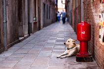 Dog in Venice by Marco Leonardo Pieropan