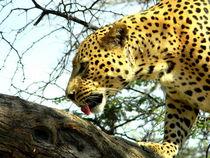 Leopard auf einem Baum - African Leopard on a tree - Namibia von Eddie Scott