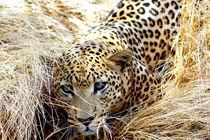 Leopard in Deckung - African Leopard hiding von Eddie Scott