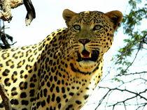 Leopard wartet auf Beute - Namibia by Eddie Scott