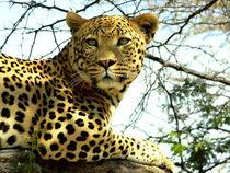 Sitting restin african Leopard - Southern Africa von Eddie Scott