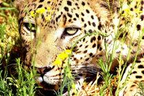 Leopard in Deckung II - African Leopard hiding von Eddie Scott