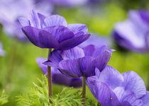Purple Flowers by Jon Woodhams