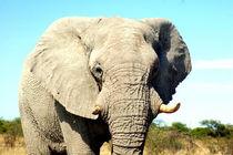 Elefantenbulle in Namibia - Male Elephant Africa von Eddie Scott