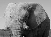 Elefant s/w im Etoscha Nationalpark Namibia - Elephant b/w by Eddie Scott