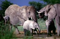 Elefanten im Etoscha Nationalpark Namibia - Elephants von Eddie Scott