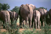 Afrikanische Elefanten -African Elephants Namibia Africa von Eddie Scott