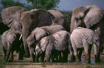 Elefanten Gruppe Wasserstelle Etoscha Nationalpark Namibia by Eddie Scott
