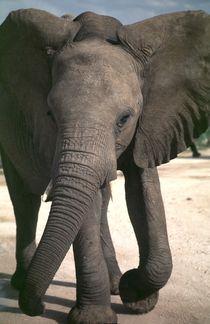 Junger Elefant - Namibia  Young african Elephant  von Eddie Scott