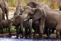 African Elephants - Okavango River Namibia - Elefanten von Eddie Scott