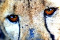 Gepard Gesicht Augen - Cheetah close up - Africa von Eddie Scott