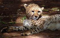 Cheetah cub resting - Junger Gepard in Namibia von Eddie Scott
