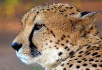 Gepard - Cheetah - Namibia - Afrika von Eddie Scott