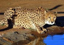 Gepard an der Wasserstelle im Morgenlicht - Cheetah von Eddie Scott