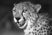 Gepard s/w - Cheetah b/w - Namibia by Eddie Scott
