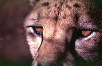 Gepard Gesicht Augen II - Cheetah close up - Africa von Eddie Scott