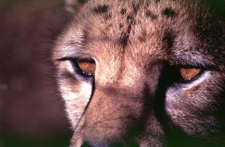 Gepard-afrika-foto-cheetah-12