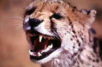Gepard - barking Cheetah in Namibia by Eddie Scott
