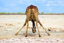 Giraffe beim Trinken - Drinking Giraffe Africa   by Eddie Scott