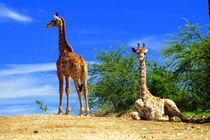 Giraffes  in Namibia - Africa - Giraffen by Eddie Scott