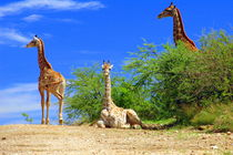3 ruhende Giraffen in Namibia - Afrika by Eddie Scott