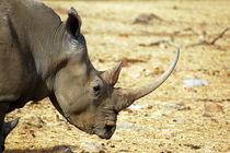 Breitmaul-Nashorn  White Rhinocerus female von Eddie Scott