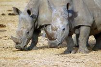 Nashorn mit Jungtier - Namibia - Rhinocerus Africa von Eddie Scott