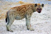 Hyäne im Etoscha-Nationalpark Namibia - Spotted Hyena Africa von Eddie Scott