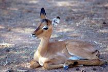 Impala-Antilope Jungtier Namibia - Africa von Eddie Scott
