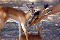 Impala-Antilope mit Jungtieren II - Namibia - Africa von Eddie Scott