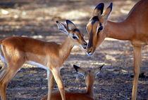 Impala-Antilope mit Jungtieren  Namibia - Africa von Eddie Scott