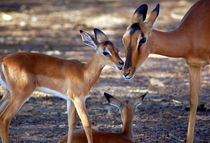 Antilopen-impalas-afrika-4
